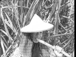Free China Harvests Rich Sugar Crop (1958)