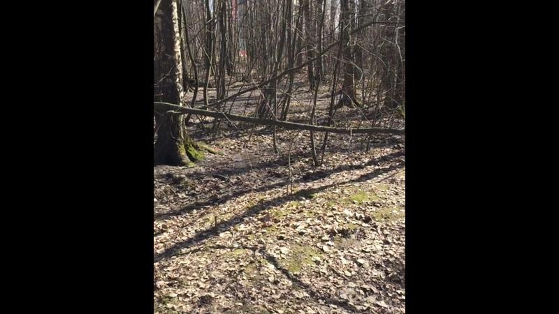 Заневское собаковедение на заневских болотах Грибоискательный шпиц и frenchbulldog в поисках сморчков