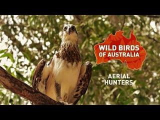 Дикие птицы Австралии: Воздушные охотники