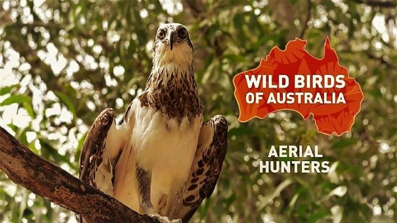 Дикие птицы Австралии Воздушные охотники