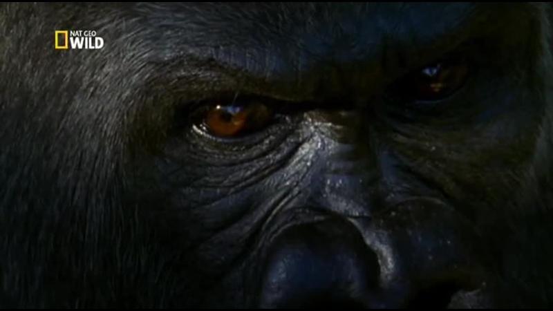 National Geographic Королевство обезьян Битва королей 1 серия из 2 2014 TVRip