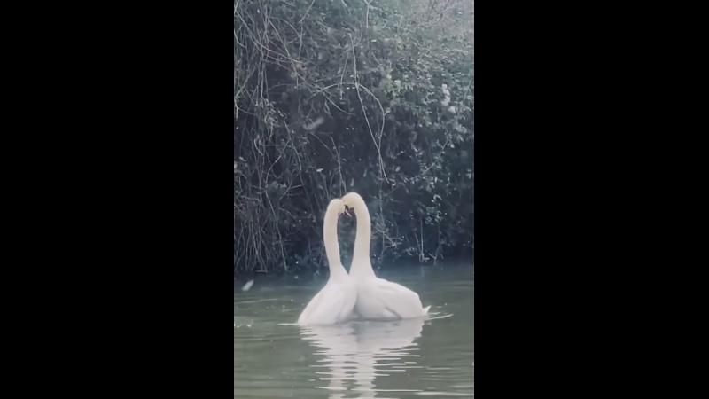 влюбленные белые длинные шейки