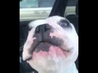 Собака Бульдог воет или поёт в машине