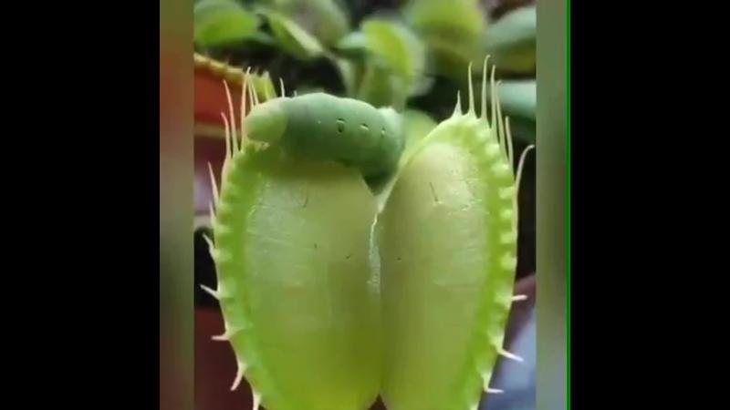 Плотоядное растение Мухоловка