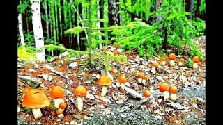 Много грибов на дороге - лес усеян грибами! Нашёл старую дорогу, очень грибное место - Грибы 2020