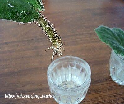 распространенные ошибки при размножении фиалки листом. среди самых настоящих цветоманов, и просто любителей комнатных растений часто бывают ситуации когда из гостей мы уносим новый листочек